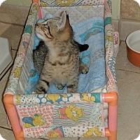 Adopt A Pet :: Tristan - Seminole, FL