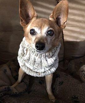 Chihuahua Mix Dog for adoption in Phoenix, Arizona - Nathan