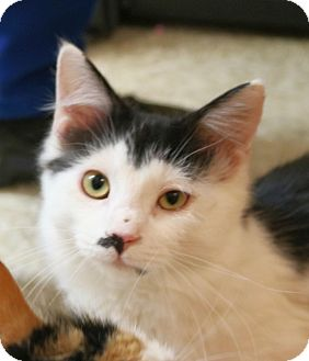 Maine Coon Kitten for adoption in Fort Worth, Texas - Opie