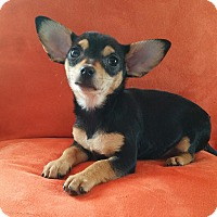 Adopt A Pet :: Sophie - Bridgeton, MO