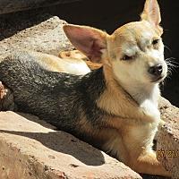 Chihuahua/Pomeranian Mix Dog for adoption in San Ysidro, California - Tinka