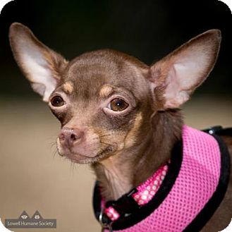 Chihuahua Mix Dog for adoption in Lowell, Massachusetts - Snickers