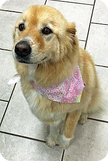 Golden Retriever Mix Dog for adoption in BIRMINGHAM, Alabama - Bella VI