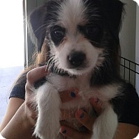 Adopt A Pet :: Gracelyn - Thousand Oaks, CA