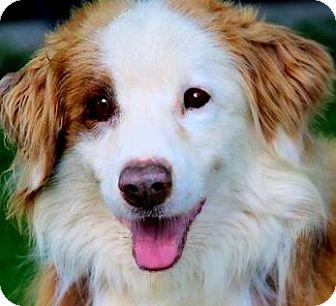 Australian Shepherd Dog for adoption in Wakefield, Rhode Island - BARRY(LOST HIS BEST FRIEND!!!