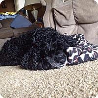 Adopt A Pet :: Curly-Sue - Livonia, MI