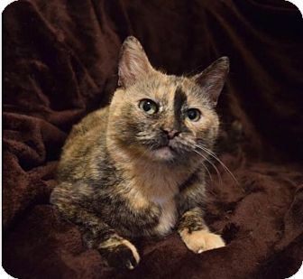 Domestic Mediumhair Cat for adoption in Vineland, New Jersey - Sally