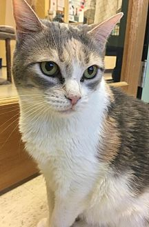 Domestic Shorthair Cat for adoption in Auburn, California - Trixie