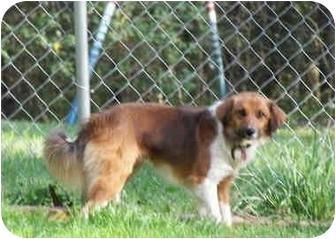 Sheltie, Shetland Sheepdog/Border Collie Mix Dog for adoption in North Wilkesboro, North Carolina - Scooby