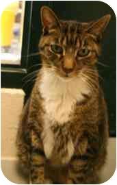 Domestic Shorthair Cat for adoption in Walker, Michigan - Norris