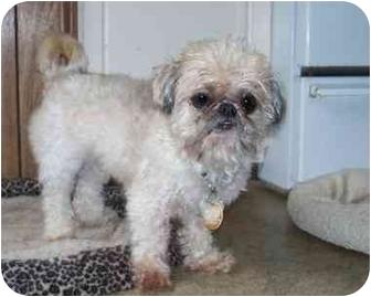 Shih Tzu Mix Dog for adoption in Seattle c/o Kingston 98346/ Washington State, Washington - Brownie