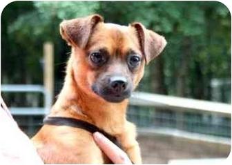 Chihuahua Mix Dog for adoption in Cleveland, Georgia - Radar