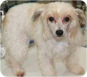 Chinese Crested Dog for adoption in House Springs, Missouri - Chili