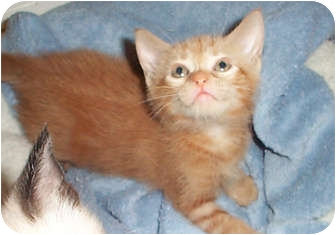 Domestic Shorthair Kitten for adoption in Tampa, Florida - Chili