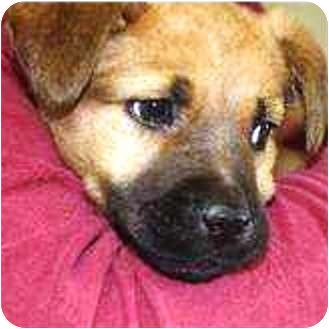German Shepherd Dog Mix Puppy for adoption in Oswego, Illinois - WE ARE ADOPTED Ann and Andy