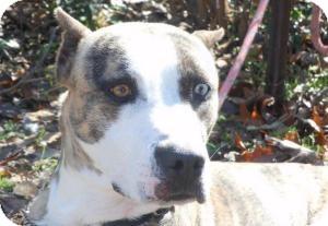 Terrier (Unknown Type, Medium)/Catahoula Leopard Dog Mix Dog for adoption in Kingwood, Texas - Ernie