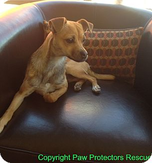 Chihuahua/Pug Mix Dog for adoption in Oceanside, California - Cody