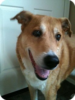 Labrador Retriever/Shepherd (Unknown Type) Mix Dog for adoption in Phoenix, Arizona - Meeko