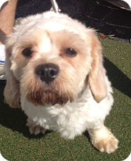 Poodle (Miniature)/Bichon Frise Mix Dog for adoption in Chicago, Illinois - Kevin