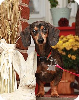 Dachshund Mix Dog for adoption in Washington, D.C. - Norman Tater (!!Reduced!!)