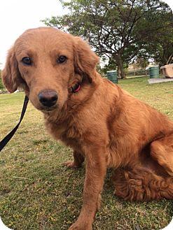 Golden Retriever Mix Dog for adoption in Corona, California - BAILEY