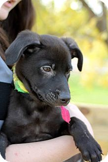 Labrador Retriever Mix Puppy for adoption in Homer, New York - Luna