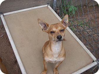 Chihuahua/Rat Terrier Mix Dog for adoption in Buchanan Dam, Texas - Kramer
