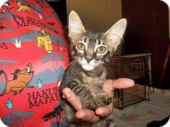 Domestic Shorthair Kitten for adoption in Rapid City, South Dakota - Nebraska