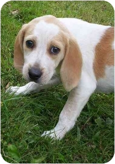 Foxhound Mix Puppy for adoption in Honesdale, Pennsylvania - ONE PUPPY LEFT!