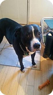 American Pit Bull Terrier Mix Dog for adoption in Anchorage, Alaska - Dexter