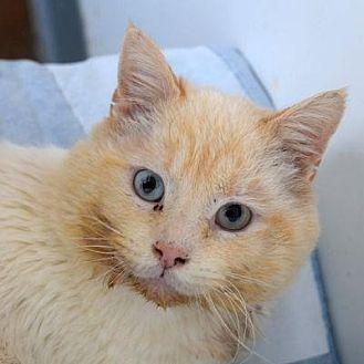 Domestic Longhair Cat for adoption in Denver, Colorado - Fox