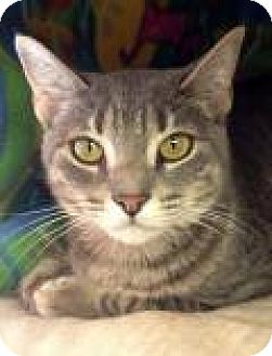 Domestic Shorthair Cat for adoption in Porter, Texas - Emma
