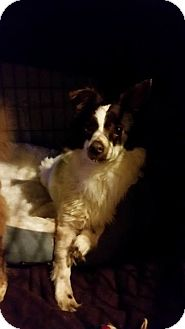 Chihuahua Mix Dog for adoption in Coatesville, Pennsylvania - Dudley