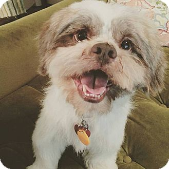 Shih Tzu/Lhasa Apso Mix Dog for adoption in College Station, Texas - Fannin
