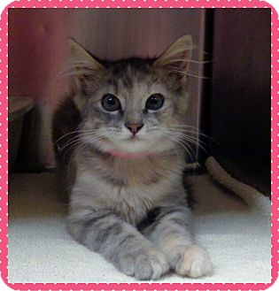 Domestic Shorthair Kitten for adoption in Marietta, Georgia - BEV - available 8/13