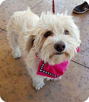 Bichon Frise/Poodle (Miniature) Mix Dog for adoption in Las Vegas, Nevada - Fluery