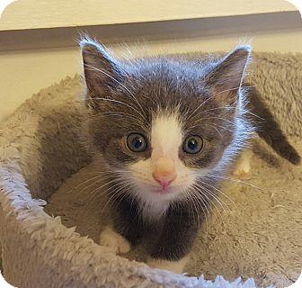 Domestic Shorthair Kitten for adoption in Irwin, Pennsylvania - Maverick