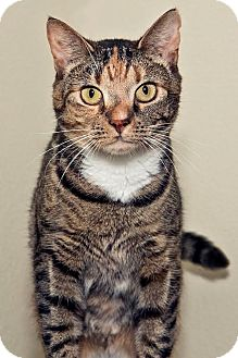 Domestic Shorthair Cat for adoption in Cashiers, North Carolina - Peeka