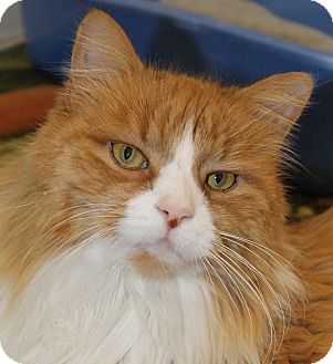 Domestic Longhair Cat for adoption in North Branford, Connecticut - Puff Daddy