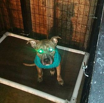 American Pit Bull Terrier/American Staffordshire Terrier Mix Dog for adoption in Covington, Tennessee - Ruthie