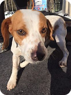 Beagle Mix Dog for adoption in Cashiers, North Carolina - Mojo