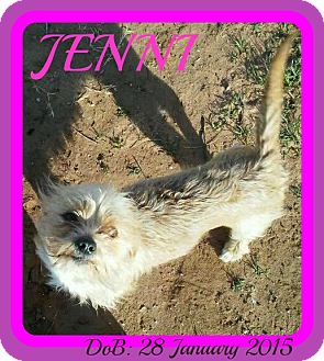 Norfolk Terrier/Terrier (Unknown Type, Small) Mix Dog for adoption in New Brunswick, New Jersey - JENNI