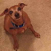 Dachshund Mix Dog for adoption in Phoenix, Arizona - Tank