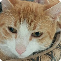 Adopt A Pet :: Cheeto - New Smyrna Beach, FL