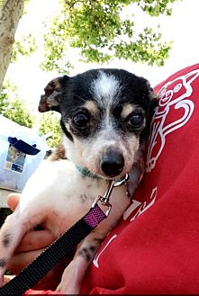 Chihuahua Mix Dog for adoption in Chico, California - Moe