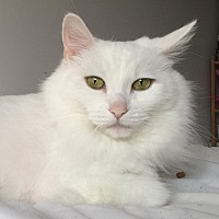 Adopt A Pet :: Bella *declawed* - Toronto, ON