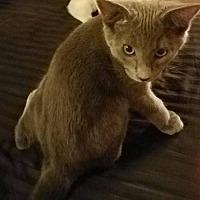 Adopt A Pet :: *ABRA - Sacramento, CA