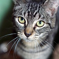 Adopt A Pet :: Dalton - Alameda, CA