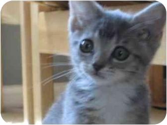 Domestic Shorthair Kitten for adoption in Saanichton, British Columbia - Athena