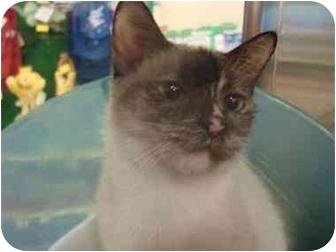 Siamese Cat for adoption in Sunderland, Ontario - Haley
